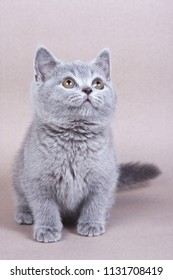 Fluffy kitty British cat on a gray background