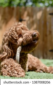 A fluffy labradoodle dog (or goldendoodle) is chewing on a stick in total happiness, while lying on a lawn on a sunny day in the spring or summer. This canine has healthy teeth.