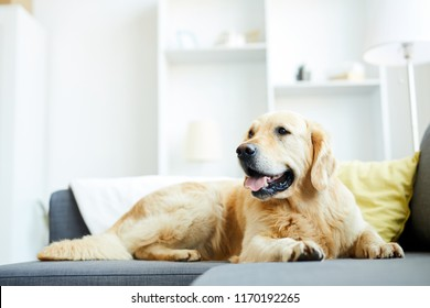Fluffy labrador lying on sofa in living-room with nobody around