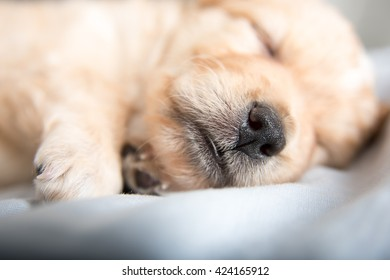 Fluffy Light Colored Puppy Sleeping on Blue Sheets