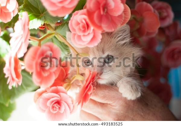 fluffy light ginger kitten in hands