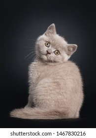 Fluffy lilac British Shorthair cat kitten, sitting backwards. Looking over shoulder at camera with still developing eye color. Isolated on black background.