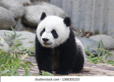 Fluffy Little Baby Panda Cub is Exploring the Playground, Chengdu, China