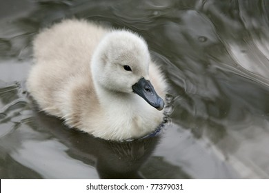 A fluffy little cygnet