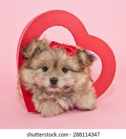 Fluffy little puppy laying inside a red heart with a red bow in her hair on a pink background.