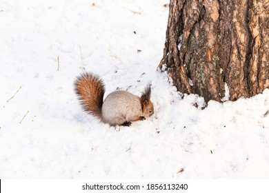 A fluffy little squirrel looking for food under the snow in the winter forest.
