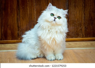 Fluffy long-haired British cat of silver color with green eyes sits and looks at the camera