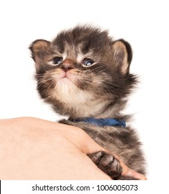 Fluffy Maine Coon kitten on the female hand isolated over white background
