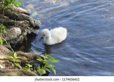 fluffy mini swan