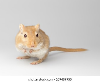 fluffy mouse sit on a gray gradient  background. Gerbillinae