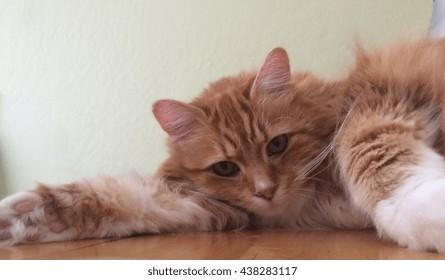 Fluffy orange cat sleeps on a desk.