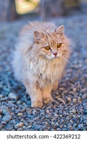 the fluffy peach cat stay on a gravel