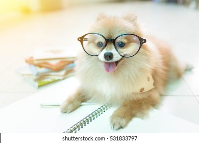 fluffy pomeranian dog with a smiling face wear glasses.