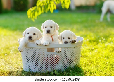 fluffy puppies sitting in a basket in the shade of a peach tree