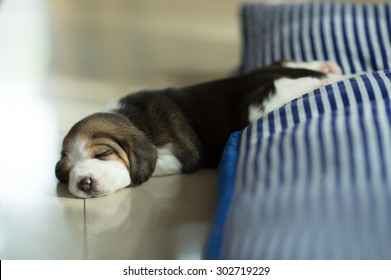 Fluffy Puppy Beagle's taking a nap on the comfy bed at the afternoon time (Soft Focus, Focus at the eyes)
