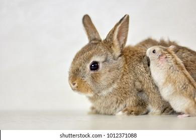 Fluffy pygmy rabbit and golden hamster.
