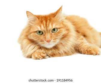 fluffy red  cat