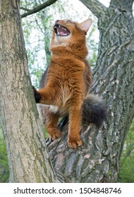 fluffy red cat (breed Somali) in the park, sitting in a fork in a tree