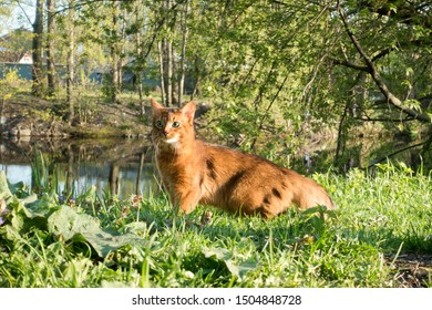 fluffy red cat with green eyes (Somali breed) walks on green grass on the river bank