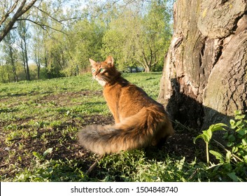fluffy red cat with green eyes (Somali breed) walks on green grass