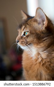 fluffy red cat with green eyes (Somali breed) ,small depth of sharpness