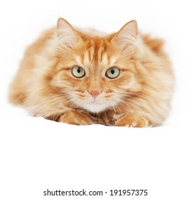 fluffy red  cat  isolated on white background