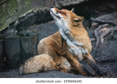 Fluffy red fox scratching its neck with its hind paw. Furry fox with dense reddish-rusty fur sitting on the ground in the zoo aviary.