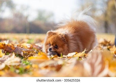 fluffy red Pomeranian in the autumn park