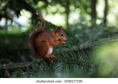 Fluffy red squirrel loving nuts