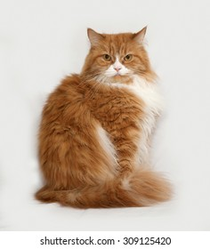 Fluffy red and white cat sitting on gray background