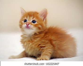 Fluffy redhead kitten