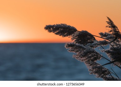 Fluffy reed flowers closeup by a sunset with golden sky