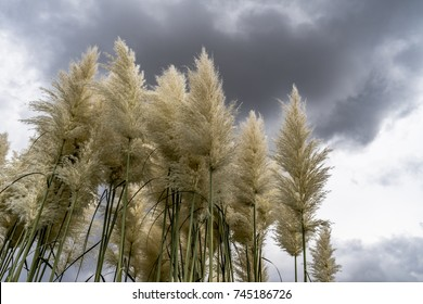 fluffy reeds with stormy dark clouds