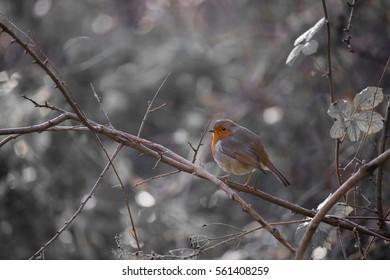 Fluffy robin amongst the brambles