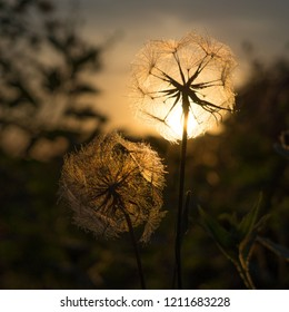 Fluffy Salsify at Sunset