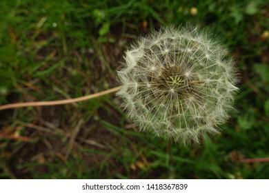Fluffy seeds of the dandellion