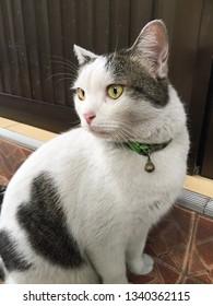 The fluffy short hair cat
