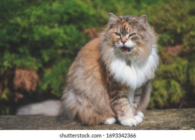 Fluffy Siberian cat on green meadow in sunny summer day. Pet enjoying spring. Concept of happy animal life.