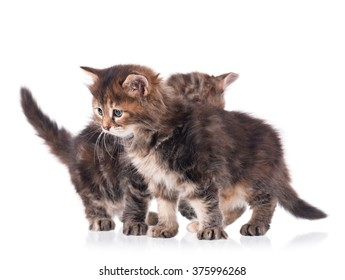 Fluffy siberian kittens isolated on white background cutout