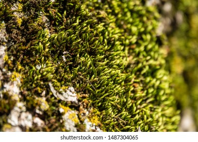 Fluffy soft green moss in the forest. Soft moss carpet. Detailed image of moss. Background image.