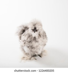 Fluffy splash silkie rooster