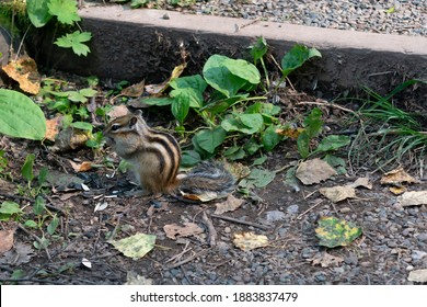 Fluffy striped Chipmunk nibbles seeds. A path strewn with small stones and green grass in the Park. A Chipmunk is looking for food in the forest.