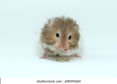 A fluffy syrian hamster eatting seed isolated on white background