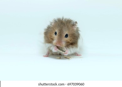 A fluffy syrian hamster eatting sunflower seed isolated on white background