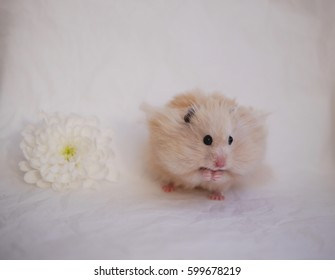 Fluffy Syrian hamster on a background of crumpled white paper. The hamster next to the flowers.