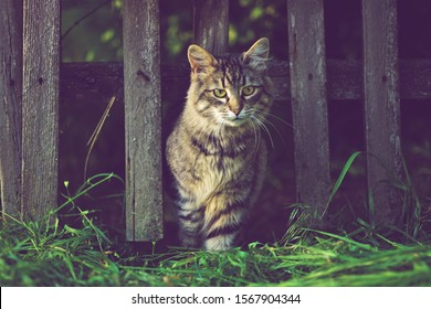fluffy tabby cat portrait, walks from a wooden old rural fence.