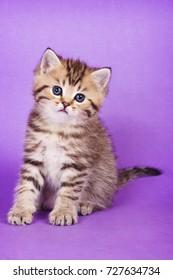 Fluffy tabby kitten of British cat on purple background