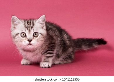 Fluffy tabby kitty British cat on a red background