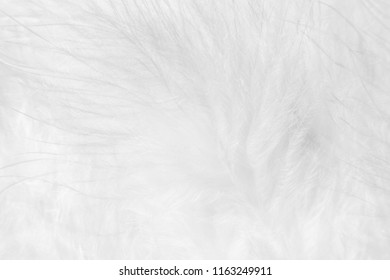 Fluffy texture of down feathers of chinese downy chickens, soft focus. Natural white background. White background of bird feathers.