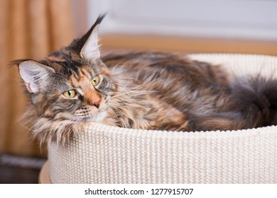 Fluffy tortoiseshell Kitty in Cat bed at home. Portrait of domestic Maine Coon Kitten. Playful beautiful young Cat looking away.